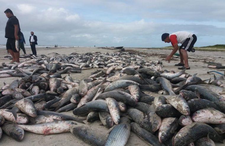 Mais de 3 mil tainhas foram pescadas em Pontal do Paraná