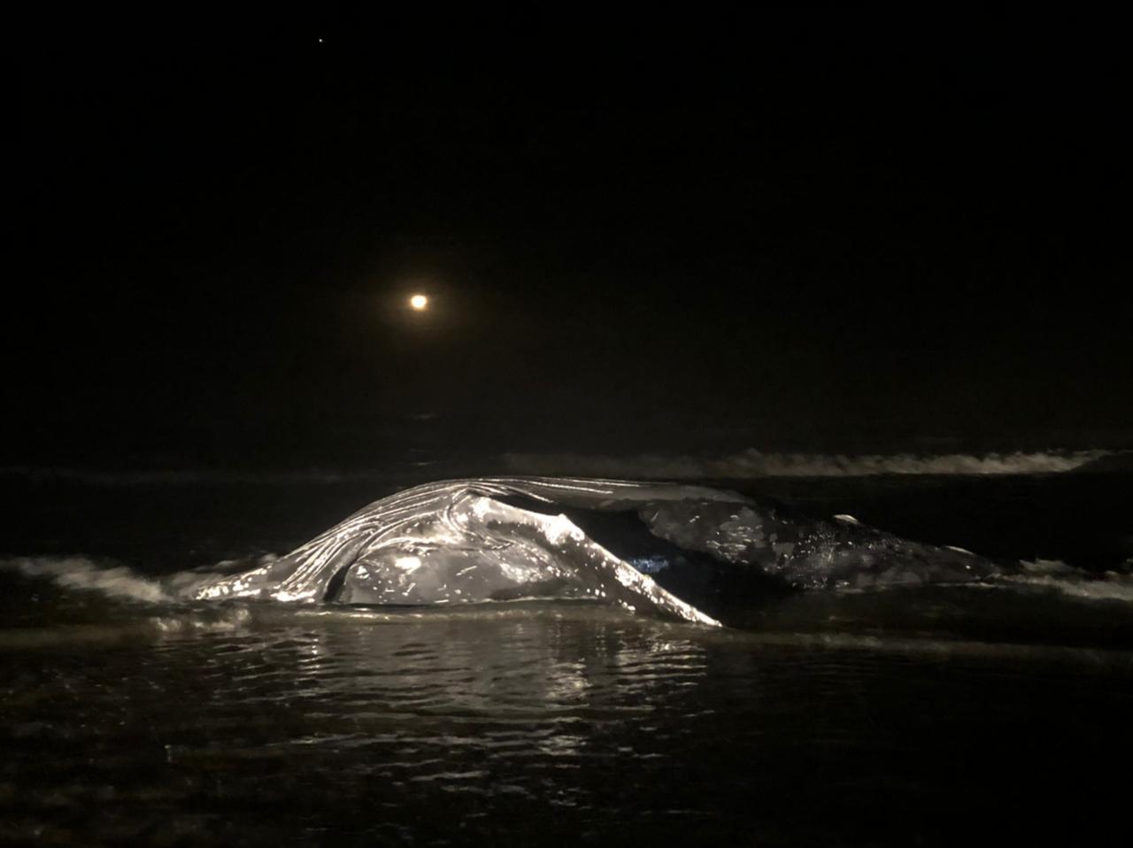 Baleia jubarte encalha e morre enrolada em rede de pesca, no balneário Coroados, em Guaratuba