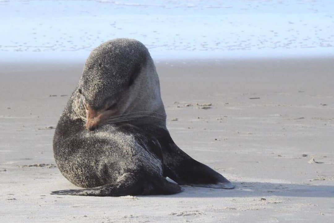 Lobo Marinho é visto descansando na Ilha de Superagui