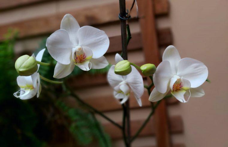 Doces Orquídeas